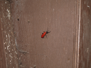 Is this a soldier beetle?  What species?