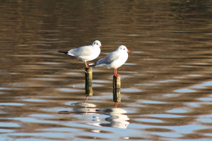 Black Headed Gulls (Larus ridibundus)