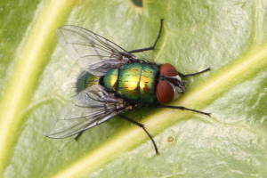 Greenbottle (Lucilia sp)?