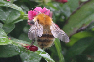 Common Carder?