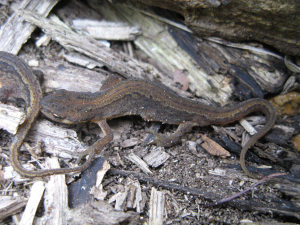 Smooth Newt (Lissotriton vulgaris)