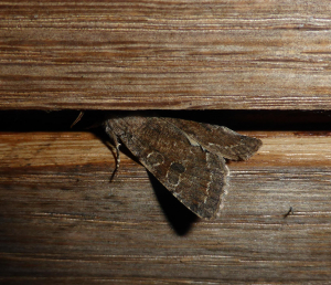 Noctuid moth at the lights