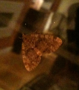 Possible V-moth?