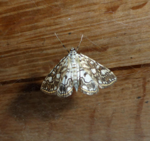 Brown China Mark Moth