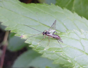 Ichneumon 4th species today