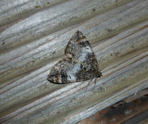 Common Marbled Carpet Type 2