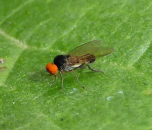 Flat-footed fly 2