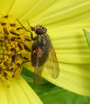 Fly on sunflower