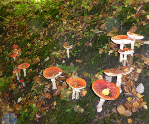 Fantastic Fly Agaric troop