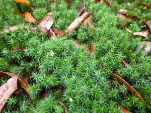 Distinctive woodland moss