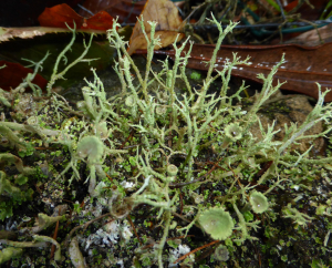 Cladonia on the wall
