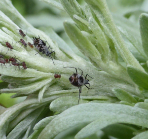 Absinthe aphid