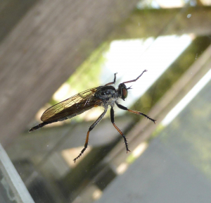 Common Awl Robberfly