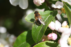 hoverfly perhaps