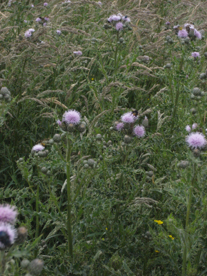 Insect on thistles Issues Road