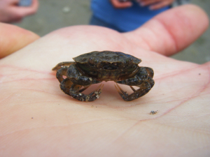 Carcinus maeas (Shore Crab)
