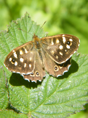 Butterfly: Speckled Wood?