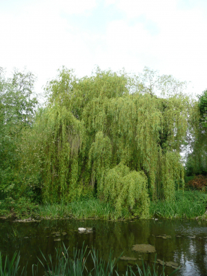 Weeping willow at Museum of Power