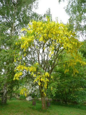 Laburnum at Museum of Power