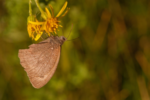 Brown butterfly (species not known)