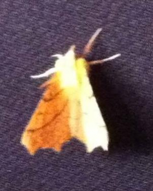 13/08/18 Canary Shouldered Thorn