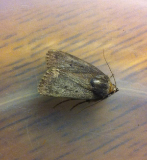 13/08/31 Mouse moth