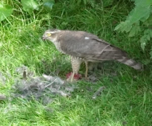 14/05/23 female sparrowhawk?