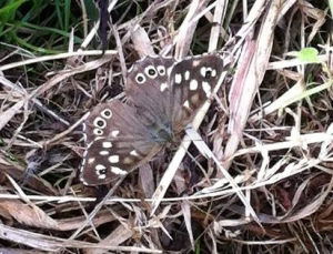 14/06/14 speckled wood