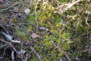 Unknown moss, possible a Sphagnum spp.