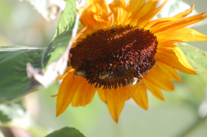 Several Bees on a sunflower