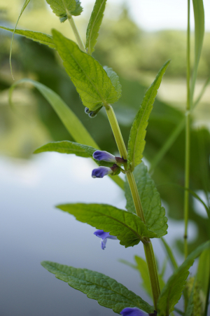 Common skullcap