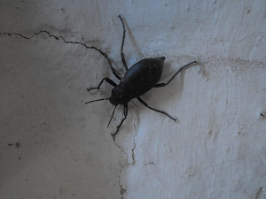 Medium black beetle