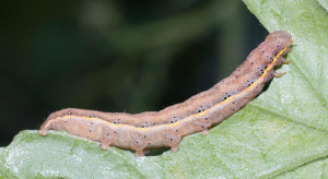 What is it - unidentified caterpillar?