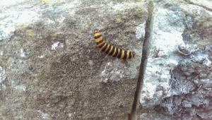 yellow and black striped catterpillar