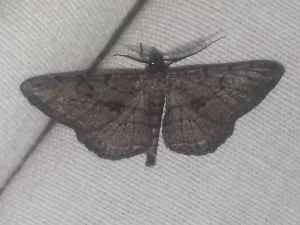Night flying moth spotted in lounge