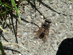 possible very large hoverfly
