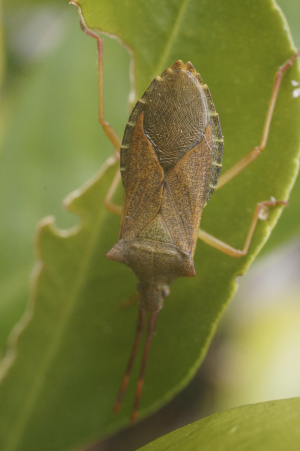 Curious shieldbug on orange tree!