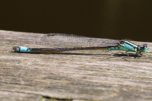 Any idea on what sort of damselfly this might be?