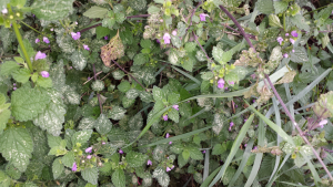 Black horehound?
