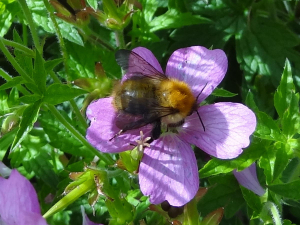 Common Carder Bee (Bombus (Thoracobombus) pascuorum)