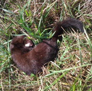 small dead animal, possibly a baby mink?