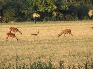 Deer grazing