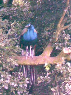 Peacock in a tree!