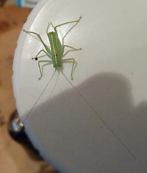 possible southern oak bush cricket
