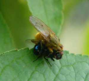 Fly attacking housefly 28-08-13