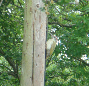 Green woodpecker juv 16-06-14