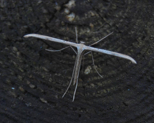 Plume moth - probably Emmelina monodactyla
