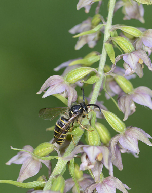 wasp on Helleborine