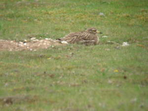 digi-scoped stone curlew
