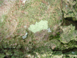 Lichen on Sycamore - tree 2
